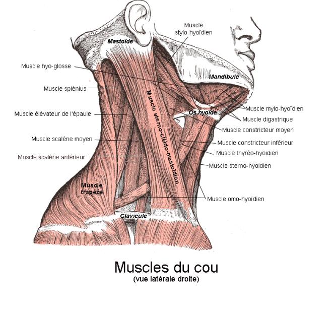 muscles_du_cou